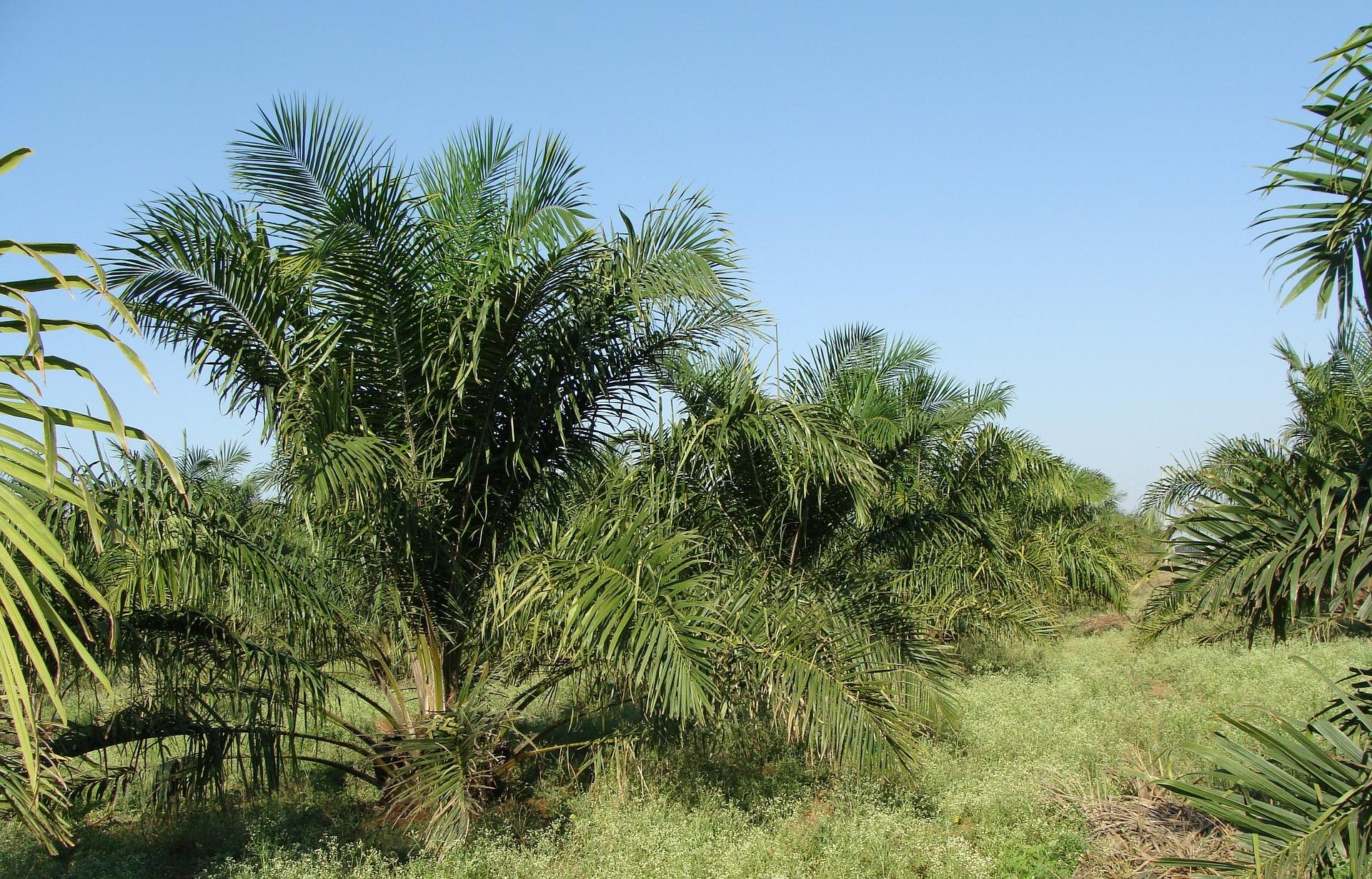 oil-palm-287878_1920